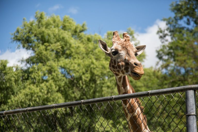 a photo of a giraffe's head peering over a wire fence. There are green leaved trees in the background